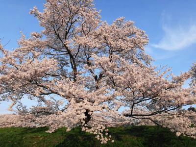 日本さくら名所百選 斐伊川堤防の桜4