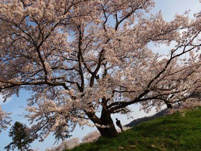 日本さくら名所百選 斐伊川堤防の桜6
