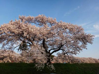 日本さくら名所百選 斐伊川堤防の桜3
