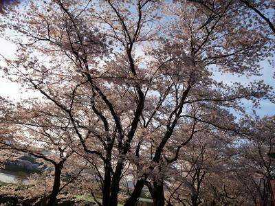 奥出雲の桜並木1