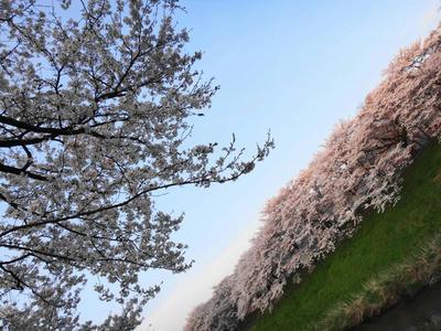 奥出雲 斐伊川堤防の桜並木