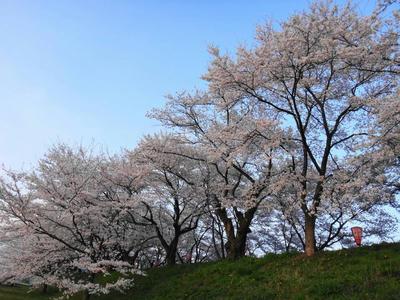 日本桜の名所百選 さくら並木