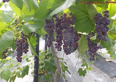 種無しぶどう 非ジベレリン処理 無農薬有機栽培