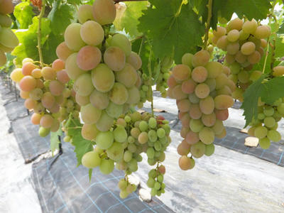 ぶどう摘み取り 無農薬 有機栽培