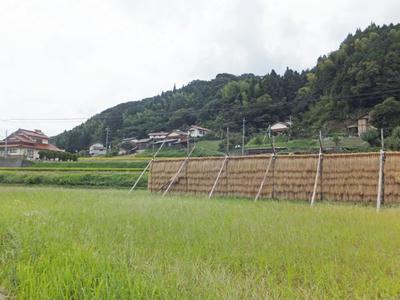 島根県雲南市木次町のはぜ干し自然乾燥米
