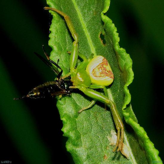 花蜘蛛(ハナグモ)|風の色、雨の匂い